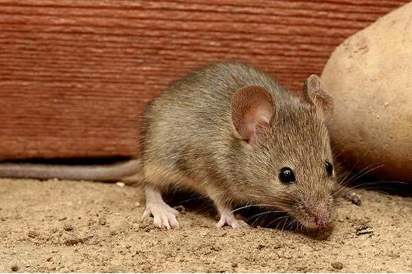 四害消杀知识--灭鼠知识