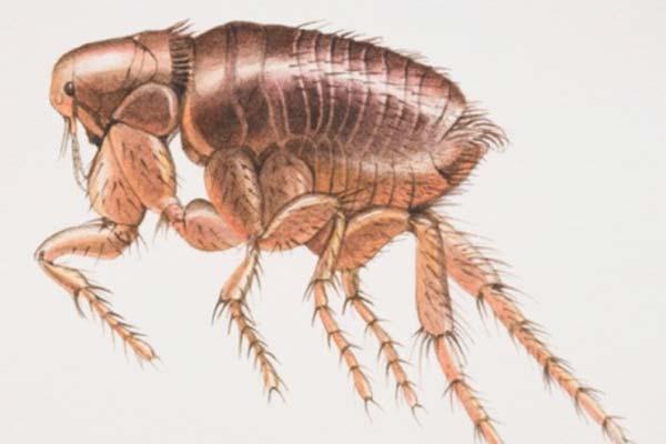 济南杀虫公司:防治跳蚤的方法