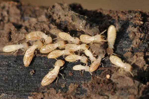 上门消杀杀虫:白蚁防治有哪些措施和方法