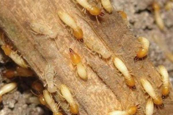 济南杀虫公司:害虫白蚁的危害和防治办法