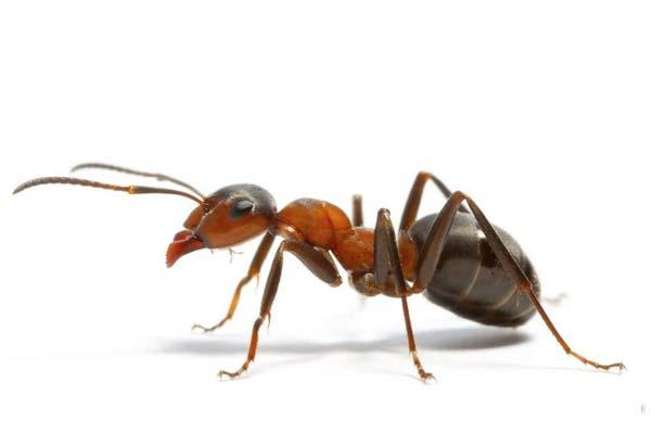 济南杀虫公司:蚂蚁的防治办法