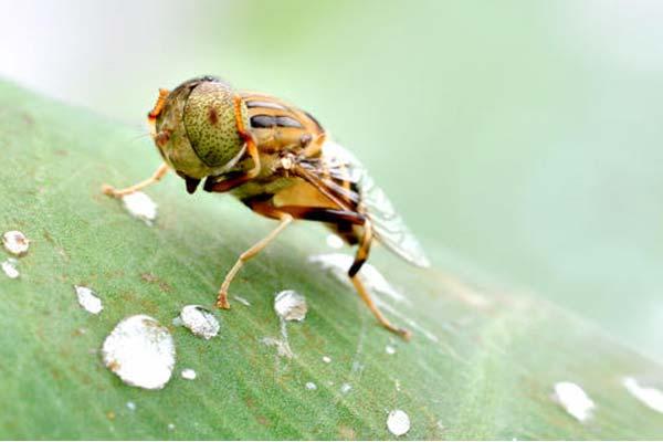 上门消杀杀虫:夏天果蝇多,如何防治烦人的果蝇?