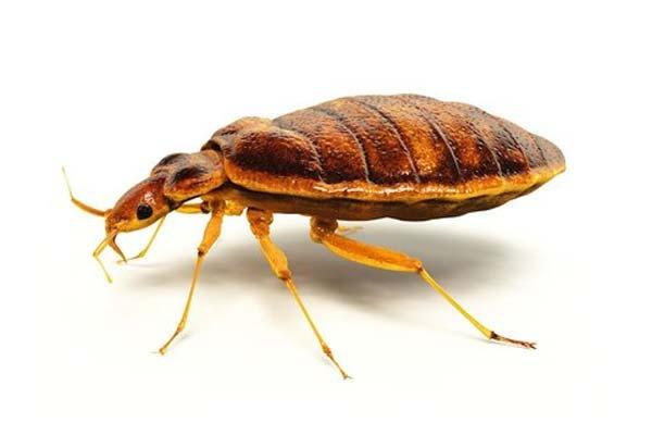 济南杀虫公司:被臭虫叮咬后应该怎么做?