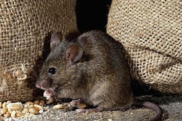 四害消杀告诉您,仓库防治老鼠有哪些好办法?