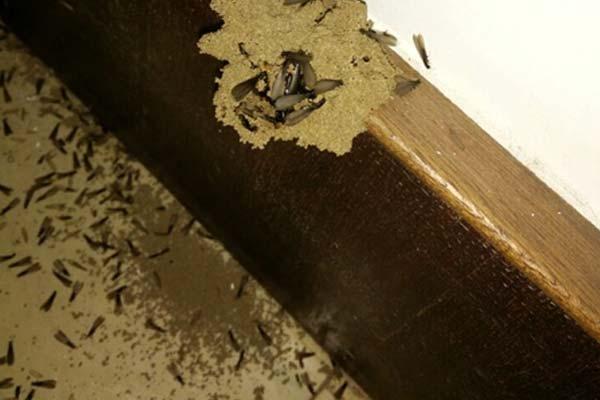 白蚁有哪些种类和出现原因
