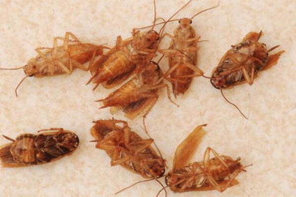 专业灭蟑螂公司