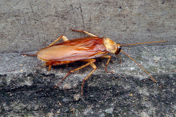 山东消杀公司浅谈蟑螂的危害,不重视蟑螂后果会很严重!