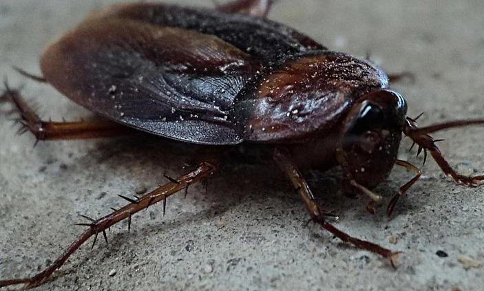 有什么办法消灭蟑螂:消灭蟑螂真正有效的办法指南