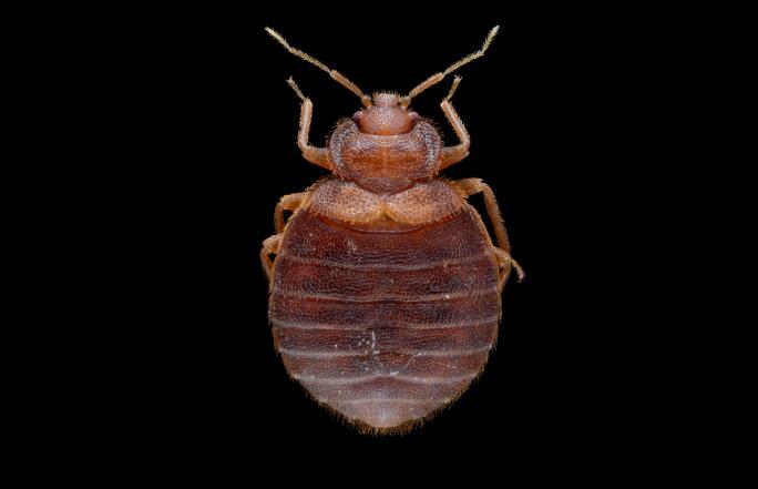 什么是床虱?床虱和跳蚤是一回事吗?