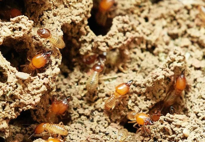 白蚁是什么害虫?如何进行白蚁的杀虫工作?