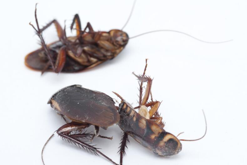 怎么灭蟑螂有效:灭蟑螂有效的方法在这里