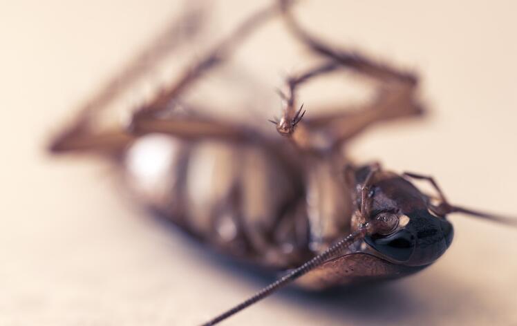 济南杀虫公司带你了解不同种类的蟑螂