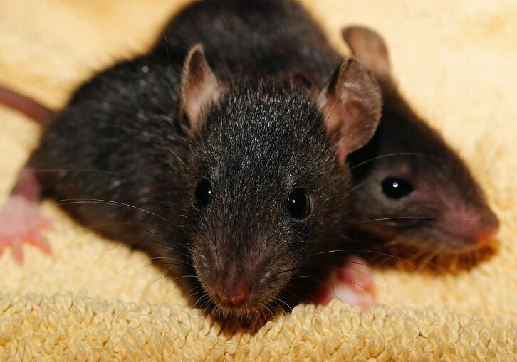 杀虫公司:屋顶鼠、黄胸鼠和黑家鼠傻傻分不清到底是什么