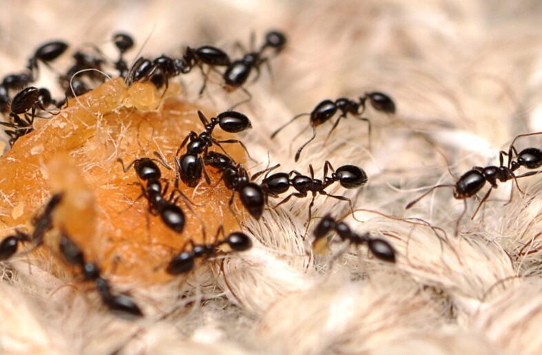 3个方法来消灭和预防家中的蚂蚁