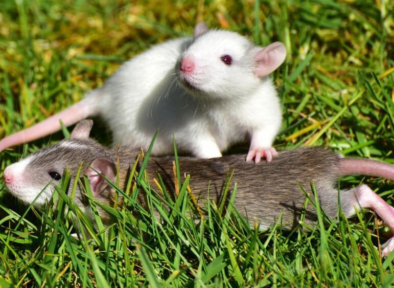 家里有老鼠怎么办:用这些办法预防和驱赶老鼠